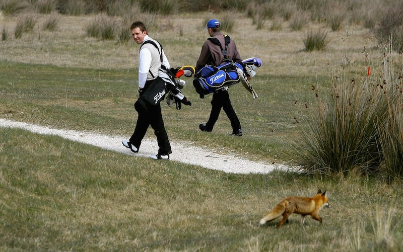 Fast-Evolving Foxes Prepare To Wipe Out Humanity