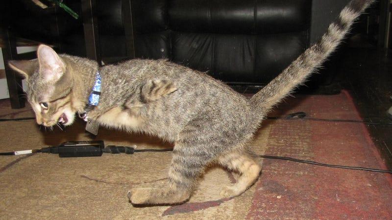 Two-Legged Kitten Is an Adorable Little T-Rex Baby