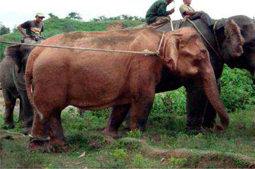 White Elephant Found in Myanmar, Headed for Luxurious Cage Life