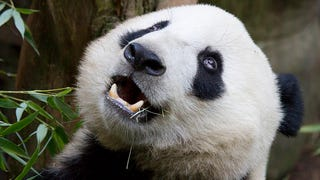Meet The Parasitic Worm That's Killing Giant Pandas