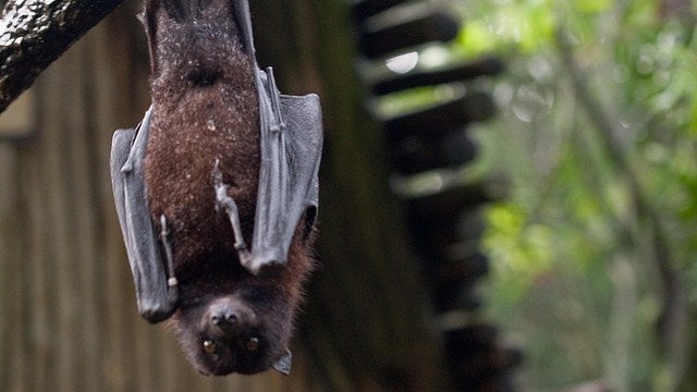Bats might have flown their way into healthier, longer lives