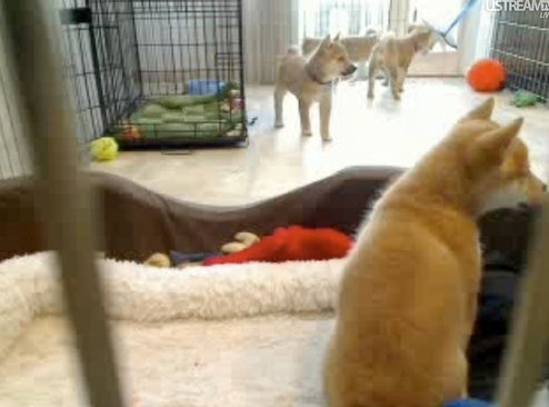 Puppycam Shiba Inus Are Leaving the Nest