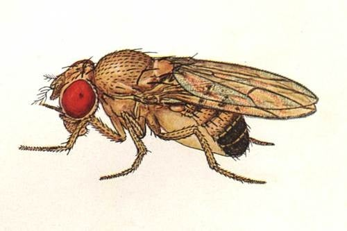 The Mystery Of The Fruit Fly Penis Solved With Lasers