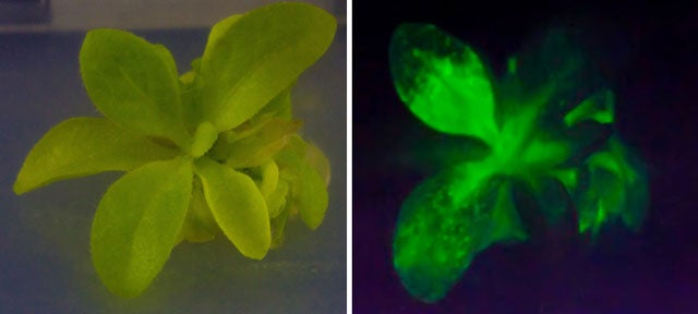 Here's Your Chance to Own a Glow-in-the-Dark Plant—And Soon