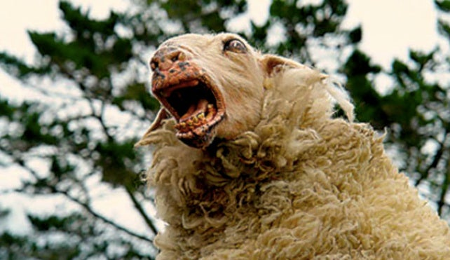 Use caution when using teeth to castrate lambs