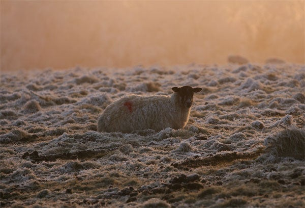 Baa Baa Brrrrrr Sheep