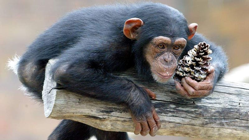 Laboratory Chimps Saved, Long Live the Chimps!