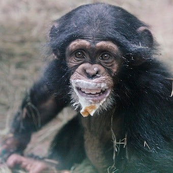 New Study Shows Chimpanzees Go to War Over Territory