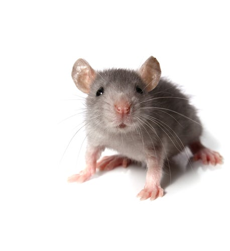 Scientists 'Reverse Aging Process' in Mice