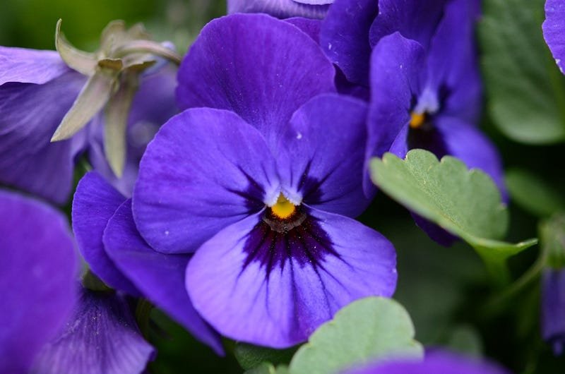 How Violets Steal Your Sense of Smell