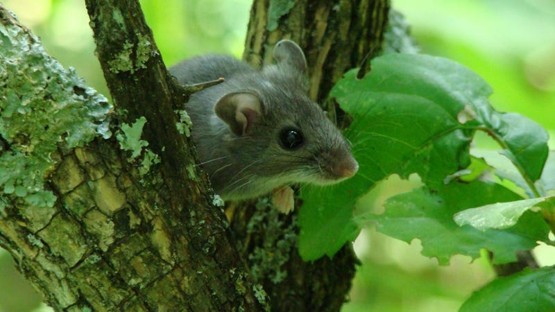 Sexual promiscuity among deer mice rewrites DNA and boosts the immune system