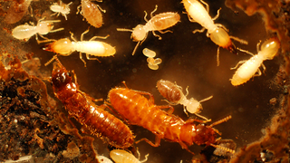 Two Invasive Termite Species Join Forces To Wreak Havoc In Florida