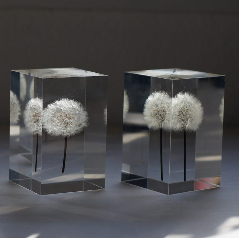 These Magical OLED Lamps Are Embedded With Real Dandelions