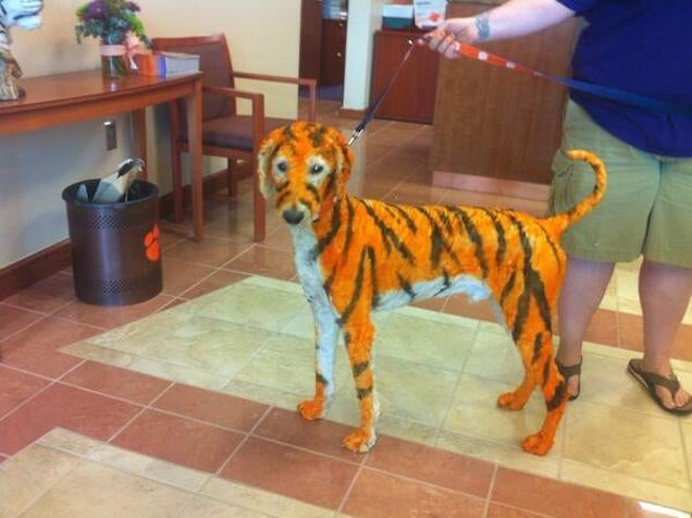 Poor Dog Painted To Resemble Clemson Tiger
