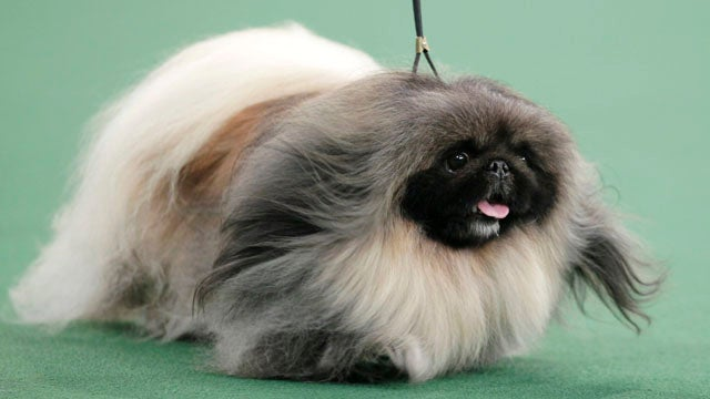 Hilariously Cute Pekingese Takes Best in Show at Westminster