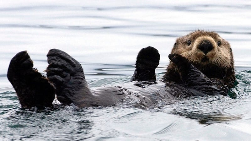 Beloved Sea Otter Dies But, Guess What, It Was Old and Everything Dies