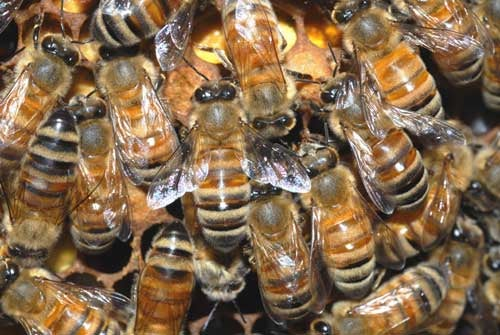 Honey bees can get drunk, just like humans