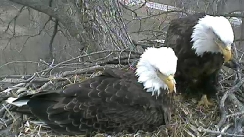 Drop everything — the Bald Eagle Cam is back!