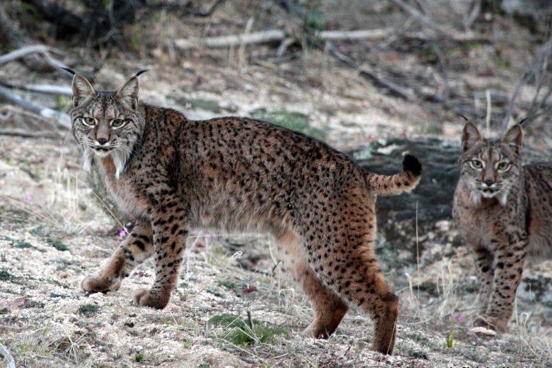 Caturday - Lynx pardinus Edition