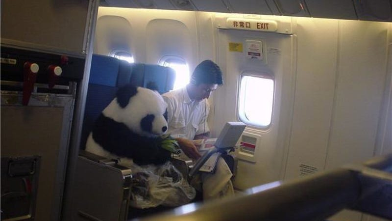 Did you know Pandas fly business class?