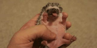 Hedgehogs Are Quickly Becoming the Most Popular Pets
