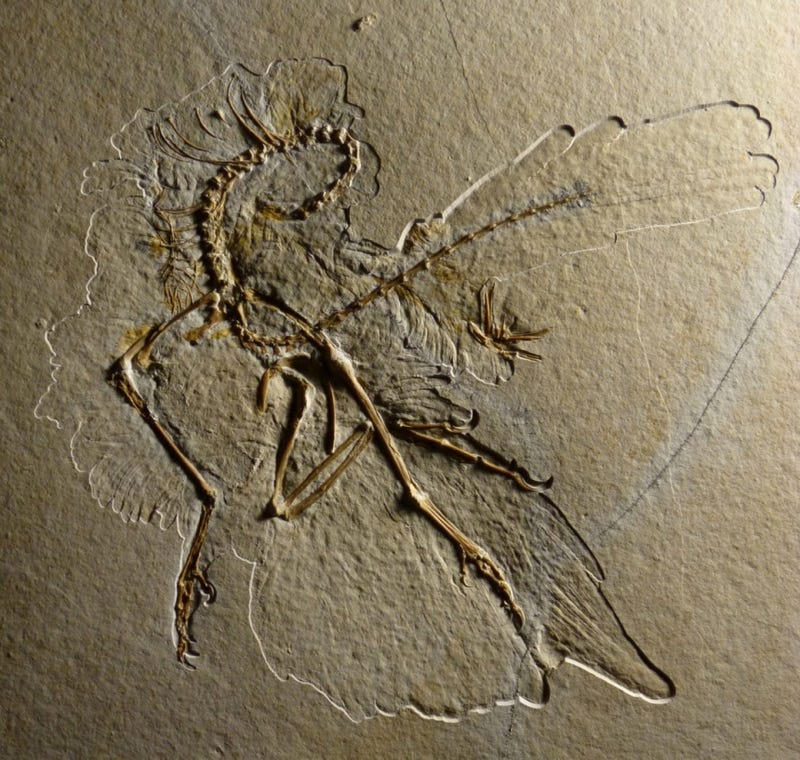 Beautiful Archaeopteryx fossil discovered in Germany