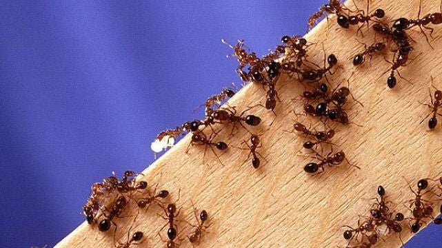 A gruesome experiment with ants proves they have built-in odometers