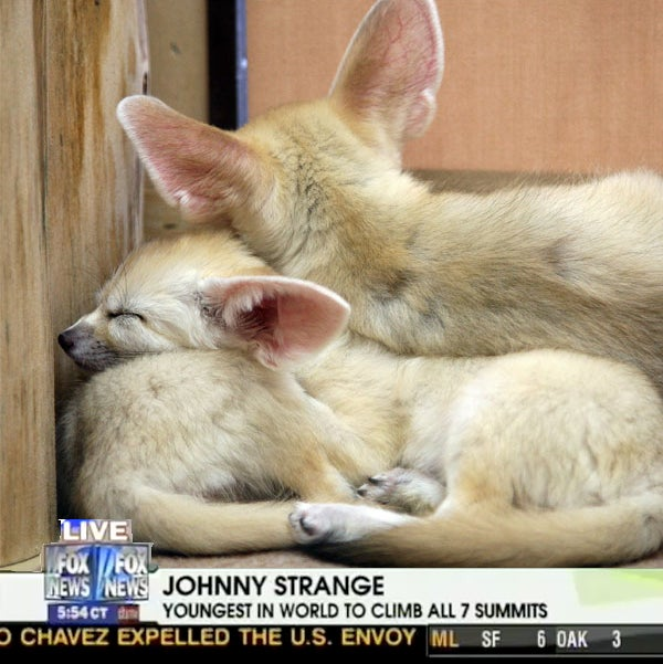 Fox News: Better With Actual Foxes