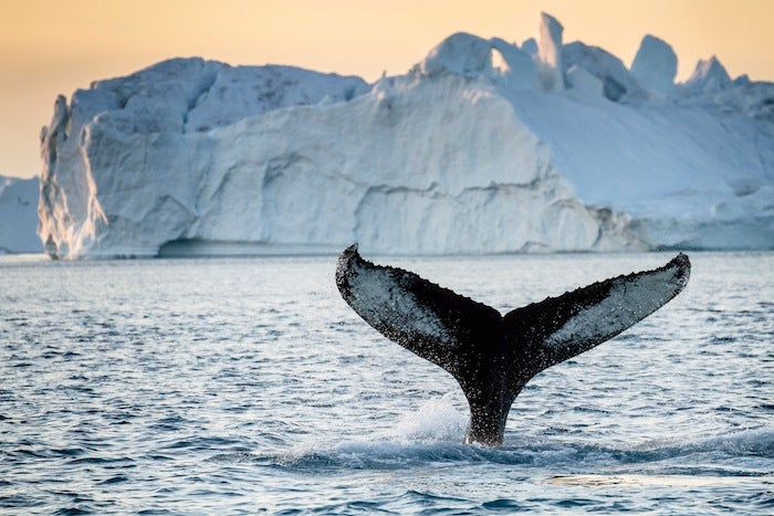 "Japan Ordered To Stop Killing Antarctic Whales For ""Science"""
