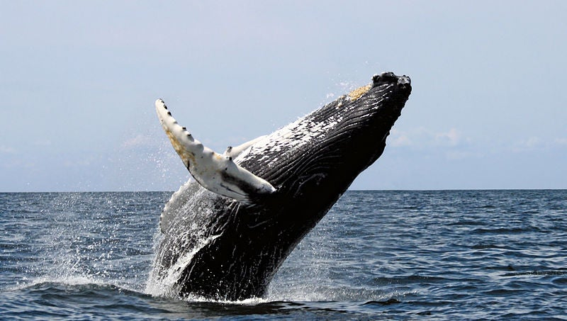 Is Saving The Whales Key To Mitigating Climate Change?
