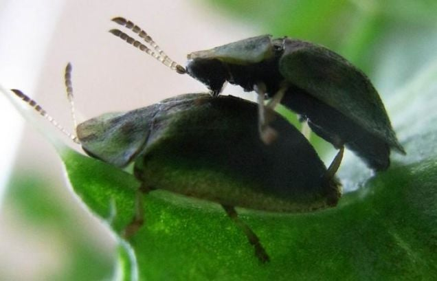 Beetles May Hold the Secret to Having Sex With a Super-Long Penis