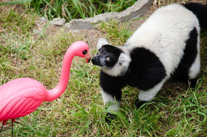 Lawn Ornaments Help Lemurs Stay Happy and Healthy