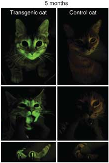 What can this glow-in-the-dark kitten teach scientists about AIDS?