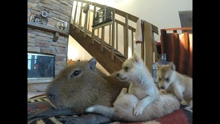 Majestic Capybara Debased By Adorable Puppies Crawling All Over Him