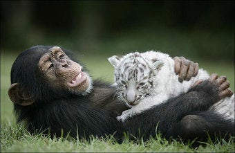 Monkeys Form Dangerous But Adorable Alliance With Tigers
