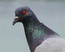 Chinese Scientists Learn to Control Pigeons