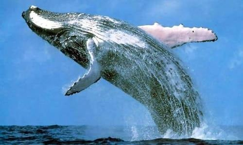 Increased rate of sunburn found . . . in whales