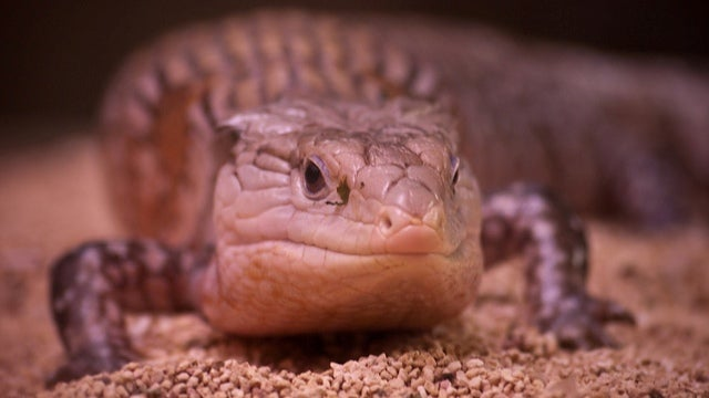 Global warming might make lizards super-intelligent