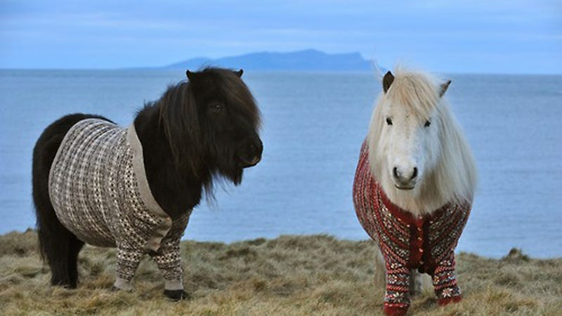 Shetland Ponies Sport Hand-Knit Sweaters, Make Us Want to Move to Scotland