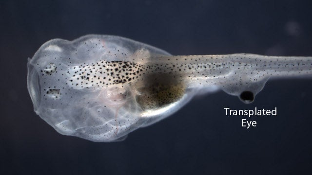 Bizarre eyeball transplant allows tadpoles to see out of their tails