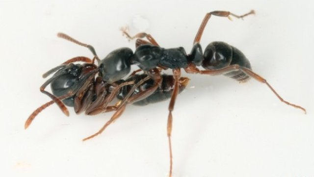 Stinging ants are quite possibly the world's bossiest animals