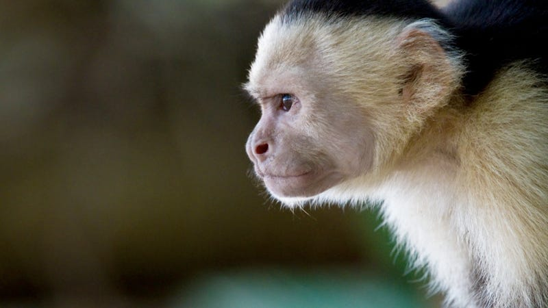 Stupid Dude Monkeys Collude to Keep Lady Monkeys Out of Leadership Positions