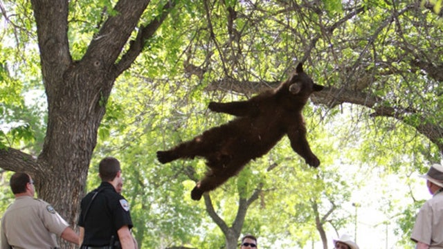 Famous 'Falling Bear' Killed On Highway