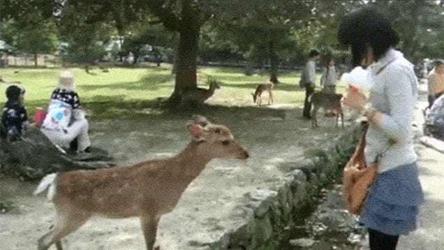 Even the Deer Are Polite in Japan. (You're Kidding, Right?)