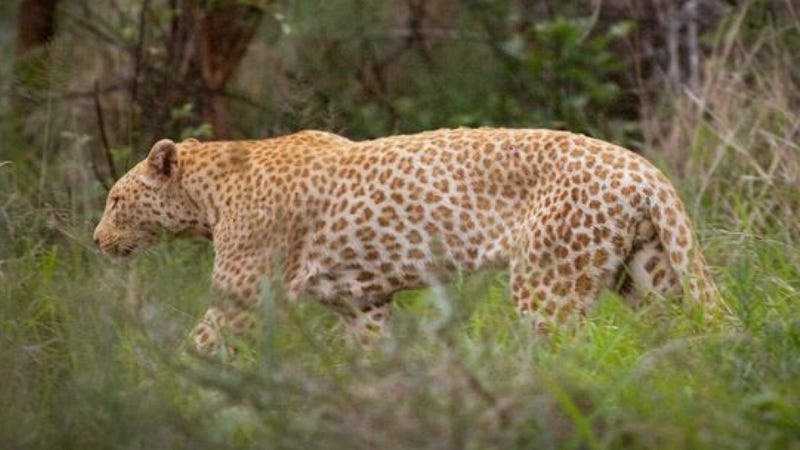 "Behold, the world's first known ""strawberry"" leopard"