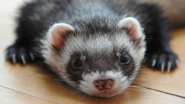 The ferrets whose eyes were wired to be ears