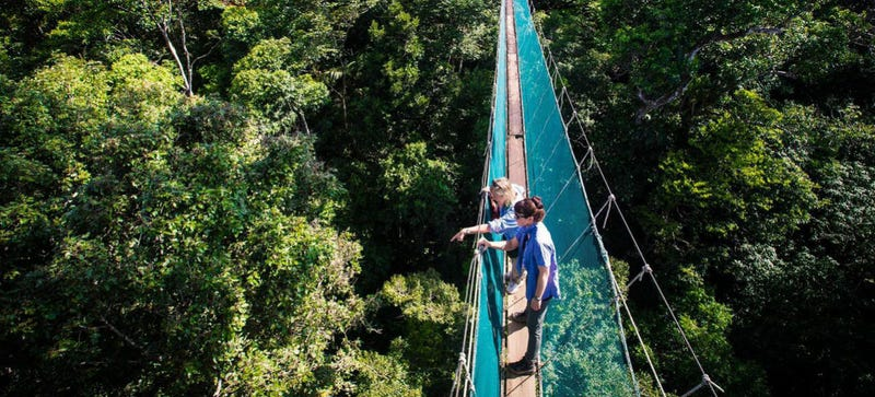 How To Dodge A Bullet Ant 12 Stories Up — In The Rainforest Canopy