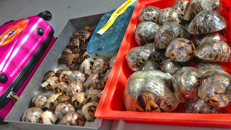 A Man Was Caught Smuggling Almost 14 Percent of an Entire Species