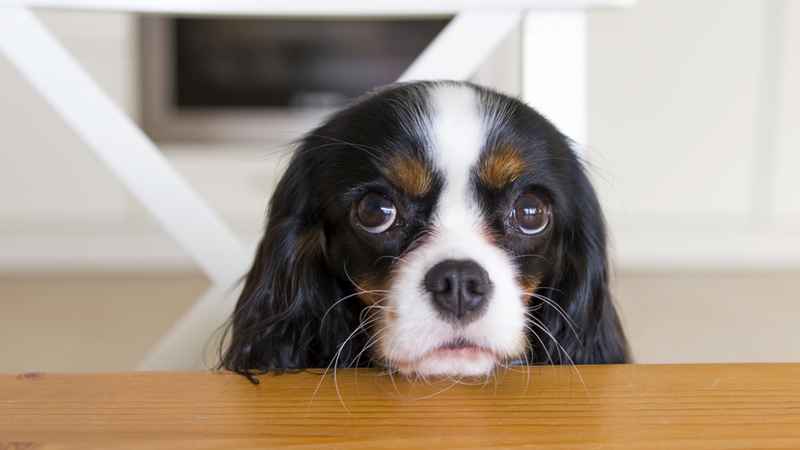 Dogs that look more like puppies have an evolutionary advantage