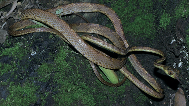 Say hello to Imantodes chocoensis, a new snake with anime eyes and a freaky looking body